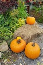 Autumn pumpkins in Nova Scotia