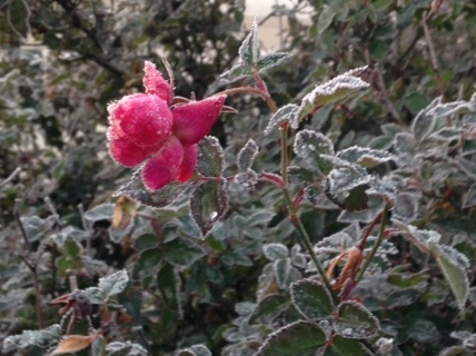 collin co frozen rose