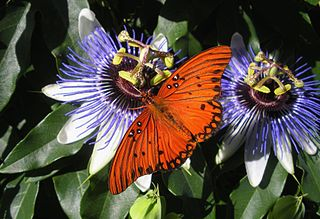 fritillary on passionflower