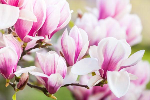 Magnolia-1 3