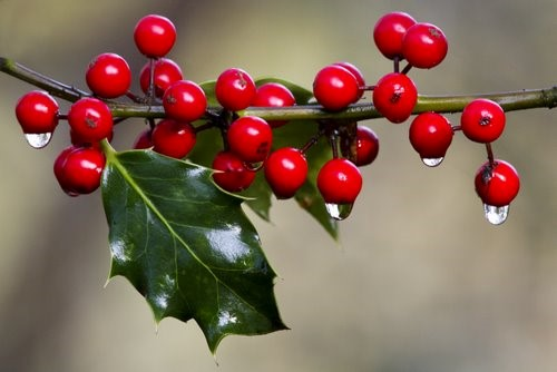Holly Berries with ice
